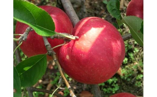 17A-3 二戸産りんご ジョナゴールド 5キログラム