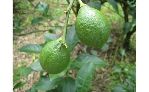 数量限定 グリーンレモン