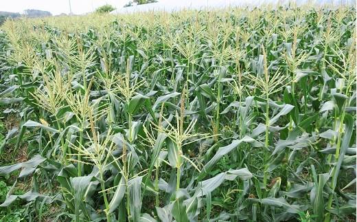 全長45メートルの畑で、収穫まで栄養を蓄えています(撮影日:2019/9/10)