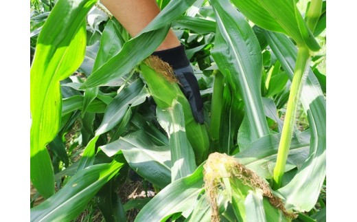 収穫まではあと一週間これからまた大きく膨らみます。(撮影日:2019/9/10)