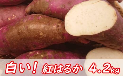 RK034幻!!白い紅はるか4.2kg