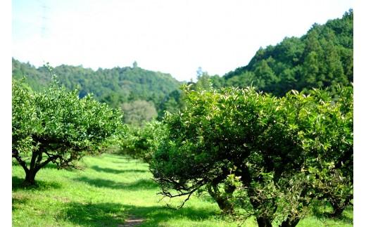 すだちの木。美郷の山で元気に育っていました。