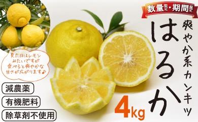 <限定>「はるか」爽やか系柑橘(春のみかん) 約4kg