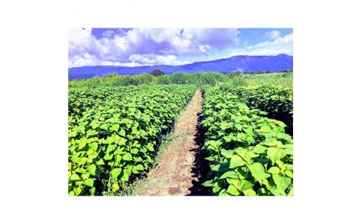 えごまが栽培される畑