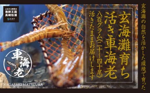 【C6-001】新松浦漁協 活きくるまえび800g