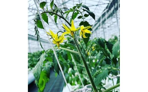 トマトの花♪