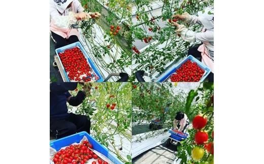 トマトは手作業で収穫