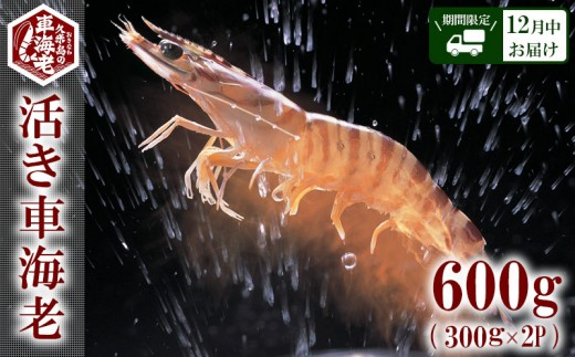 """【2019年12月中お届け】""""活き""""⾞海⽼:600g(300g×2P)"""