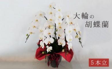 胡蝶蘭 大輪 白(5本立) 【お祝い/開店祝い/就任祝い】