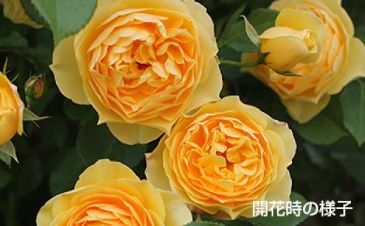 B0-237 バラ鉢植え「グラハム トーマス」