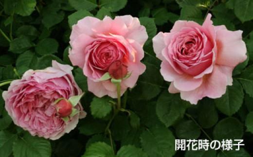 B0-236 バラ鉢植え「プリンセス アレキサンドラ オブ ケント」