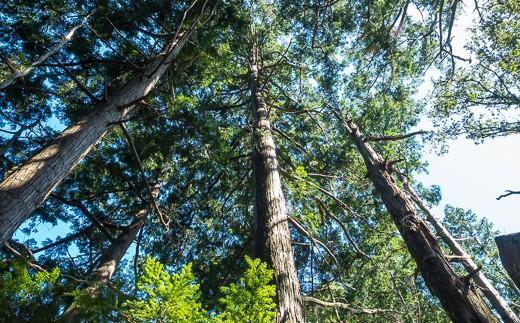 美しい尾鷲ヒノキの森