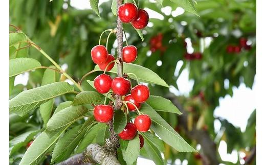 通常の栽培方法に比べて6割ほどしか収穫することができない大変希少なさくらんぼは、1粒1粒がまさに宝石のような輝きです。