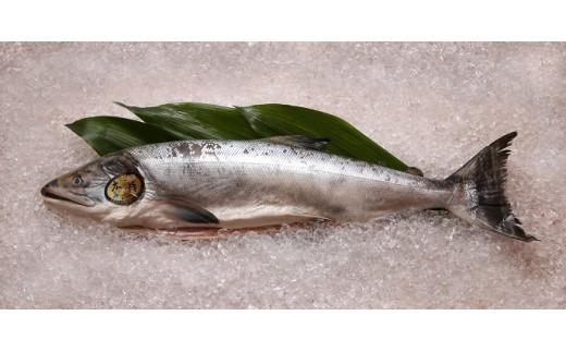 重量4kg以上の厳選された高鮮度の秋鮭です