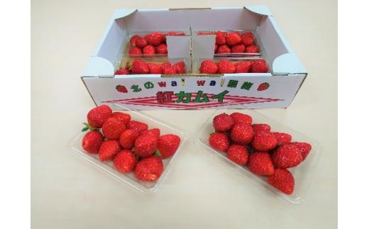 高設栽培いちご『紅カムイ』約800g 品種:信大BS8-9【08001】