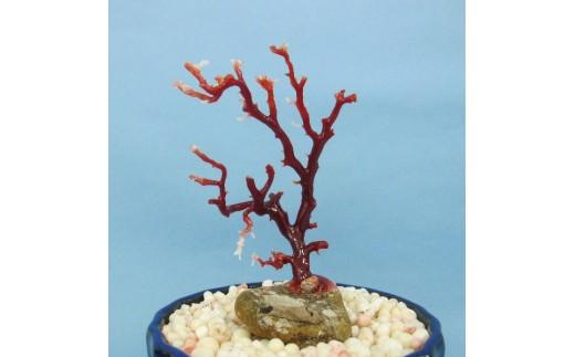 珊瑚職人館の珊瑚の原木・拝見・置物(g16)