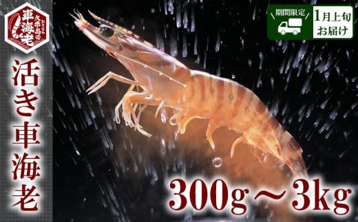 """【2020年1月上旬お届け】""""活き""""車海老:300g~3kg"""