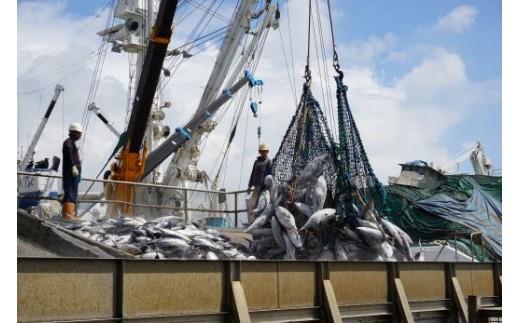 山川港の水揚げ風景。主に山川港で水揚げされたカツオを使用!