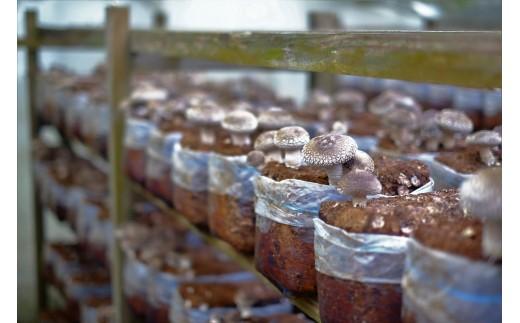マルイ園・井上さんの手作りの木枠に並べられた菌床からすくすくと伸びるしいたけたち