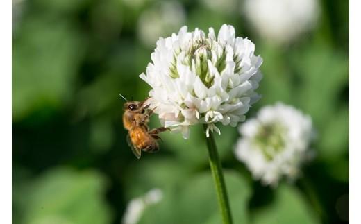 クローバーとミツバチ
