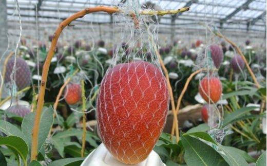 収穫前のマンゴーはこんな感じです。まさしく完熟☆