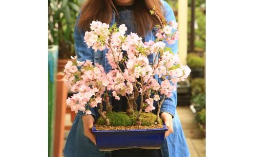 【39-09】 養庄園 桜5本寄せ盆栽