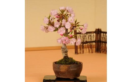 【39-03】 養庄園 ミニ盆栽:桜盆栽