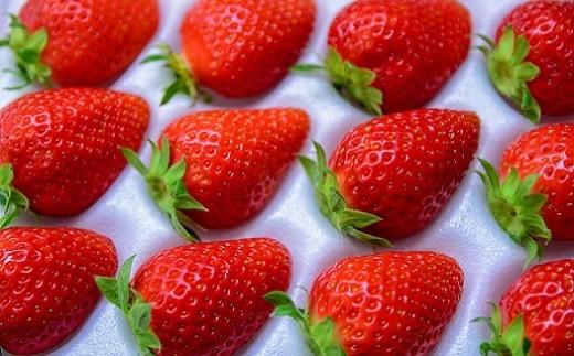 【2月 かおり野】果肉は比較的固めですが果汁が多く、酸味が穏やかでさっぱりとした甘さのいちごです。