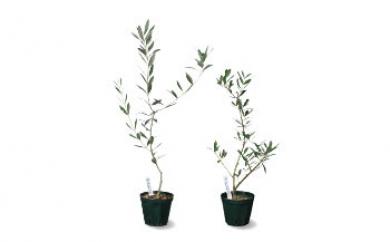 オリーブの苗木2本セット