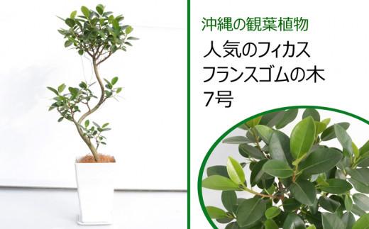 沖縄の観葉植物 人気のフィカス フランスゴムの木 7号
