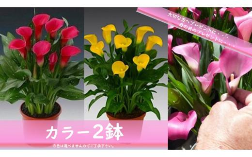 須貝花園 カラー2鉢