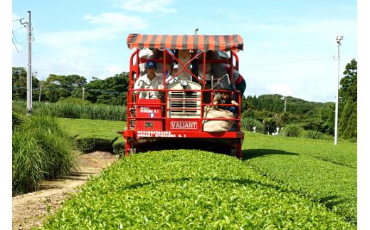 3月中旬から、摘採(お茶の葉の摘み取り作業)が、すでに始まっています!他の地域よりも、約1ヶ月以上早いです!