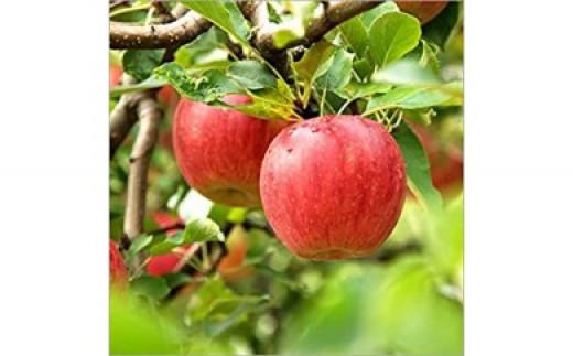 No.0338 先行予約 シャキッと爽快、太陽をたっぷり浴びた林檎  りんご サンふじ(蜜入り) 5kg(12玉~20玉)