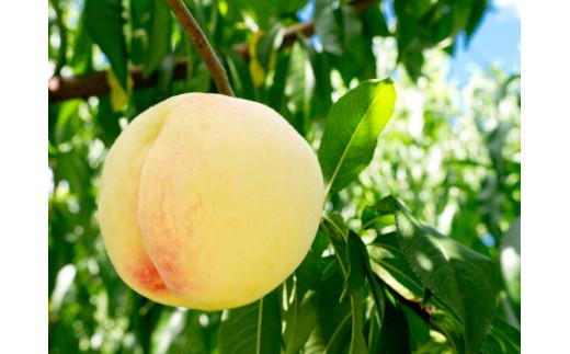 岡山県産の白桃をピューレ状にして作っています。