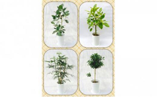 [№5672-0363]プロが選ぶ厳選・観葉植物 7号鉢