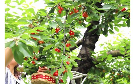 寒河江市は、恵まれた気象条件と志の高い生産者がさくらんぼ栽培を受け継いでいる、明治時代より続くさくらんぼの名産地です。