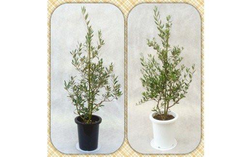 [№5672-0365]プロが選ぶ観葉植物~平和のシンボル オリーブ~ 8号鉢