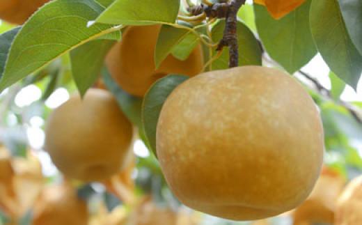 【先行予約受付】豊水梨詰め合わせ<約5.5kg:小原梨園>  SKB04