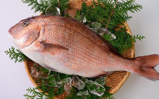 【AA17】食えばわかる!こだわり抜いた養殖真鯛