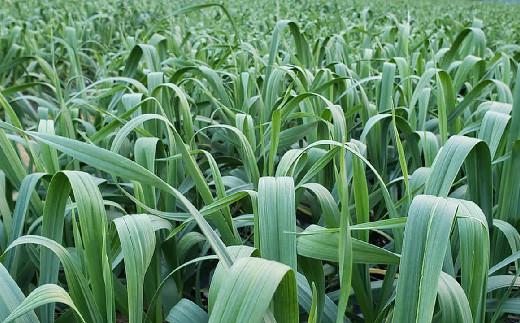 主原料の葉にんにくは自社農園にてオーガニック栽培したものを100%使用しています。