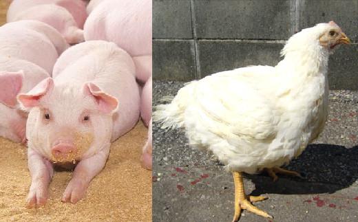 旨味の強い高知産の四万十豚や四万十鶏を使うことで化学調味料の不使用を実現しました。四万十豚は臭みが無く上品な味わいが特徴です。