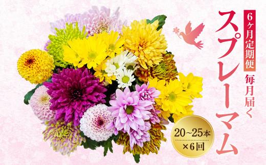 【6ヶ月定期便】広川町産 スプレーマム 20~25本 6回 キク 九州