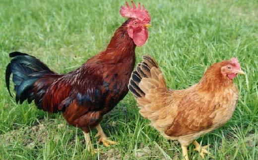 土佐ジローは放し飼いや緑餌(非遺伝子組換)の給与を必須とする高知県特産のブランド地鶏です。高知県土佐ジロー飼養マニュアルに基づく