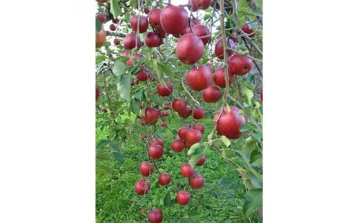 青森県産りんご 紅玉 家庭用 約5kg【1110658】