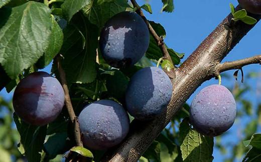 信州の夏を感じさせる果物の一つが「プルーン」です。生プルーンは、甘酸っぱい香りとジューシーな果実が特徴です。