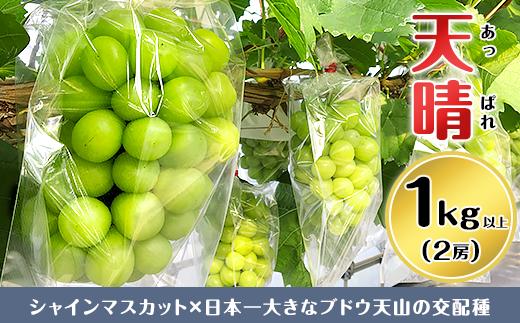 11-01ぶどう【天晴(あっぱれ)】2房(1kg以上)【いっちーブドウ園】