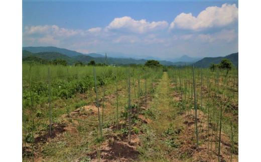 春採りから夏採りへ移行するアスパラ畑。大きく成長させた春アスパラの下に夏のアスパラが顔を出します。