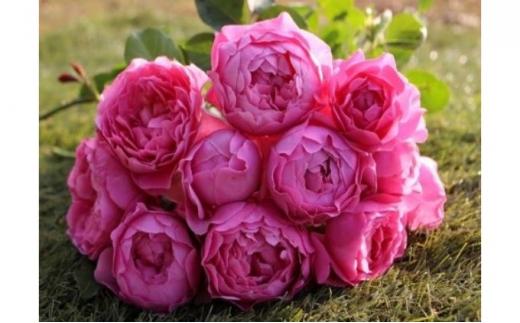 [№5221-0374]【Apple Roses】バラ苗 'ラブ・シック' 新苗6号鉢植え