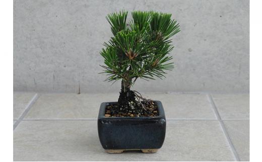 [№5707-0337]植木のまちより、手軽にミニ盆栽はじめませんか?[千寿丸]