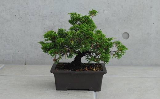 [№5707-0336]植木のまちより、手軽にミニ盆栽はじめませんか?[真柏(シンパク)]